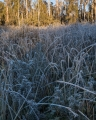 Frosted sedges
