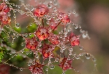 Heath-myrtle and raindrops