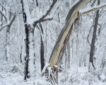Mountain forest in snow