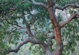 Yellow Bloodwood, Yengo