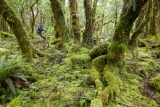 Montane forest, Doon Burn, Fiordland National Park