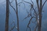 Alpine Ash stems