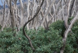 Snow Gums resprouting after fire, Alpine National Park