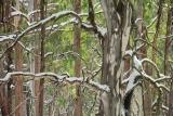 Mountain Gum, Kosciuszko National Park