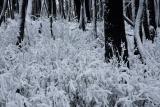 Alpine Ash forest, Kosciuszko National Park