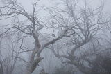 Burnt Snow Gum branches
