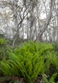 Ferns and Snow Gums, Mount Tingaringy