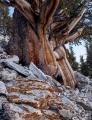 Massive Bristlecone Pine