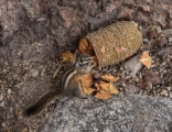 Chipmunk destoying pine cone, Onion Valley