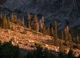 Pines in morning light, Onion Valley