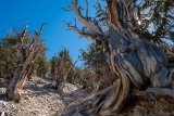 Bristlecone Pines, White Mountains