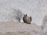 Chipmunk on summit of Mount Whitney