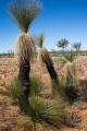 Desert grass-trees (Xanthorrhoea thorntonii)