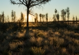 Desert Oaks (Allocasuarina decaisneana), sunrise