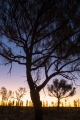 Desert Oaks (Allocasuarina decaisneana) at dawn