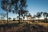 Desert Oaks (Allocasuarina decaisneana)