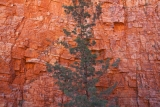Cypress pine and gorge wall