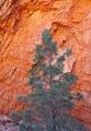 Native Pine