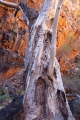 River Red Gum in gorge