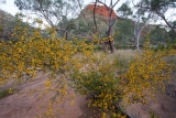 Wattle, Ellery Creek