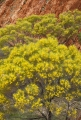 Flowering Hill Mulga