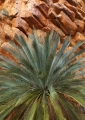 MacDonnell Ranges Cycad