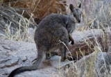 Black-footed Rock Wallaby
