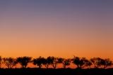 Rosewood sunrise, Mungo National Park