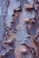 Peeling Angophora