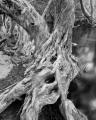 Water Gums, Wet Tropics