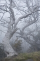 Burnt Snow Gums near Kiandra