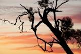 Eucalypt silhouette, Mungo National Park