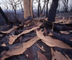 Burnt Angophora