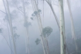 Blue Mountains Ash in mist
