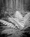 Tree fern and peppermints