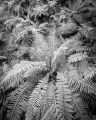 Ferns, Grose Valley
