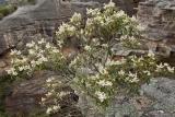 Flowering Possumwood, Mugii Murrumban State Conservation Area
