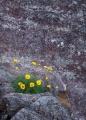 Pagoda Daisies and lichens