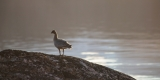 Pink-footed Goose, Bear Islands