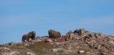 Musk Oxen, Bear Islands