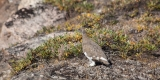 Ptarmigan, Bear Islands