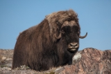 Musk Ox, Bear Islands