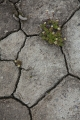 Saxifrage and cracked mud