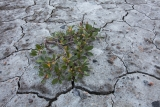 Arctic Willow and cracked mud, Milne Land