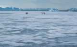 Polar Bear and cub on ice floe, Scoresbysund