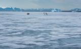 Polar Bear and cub on ice floe, Scoresbysund