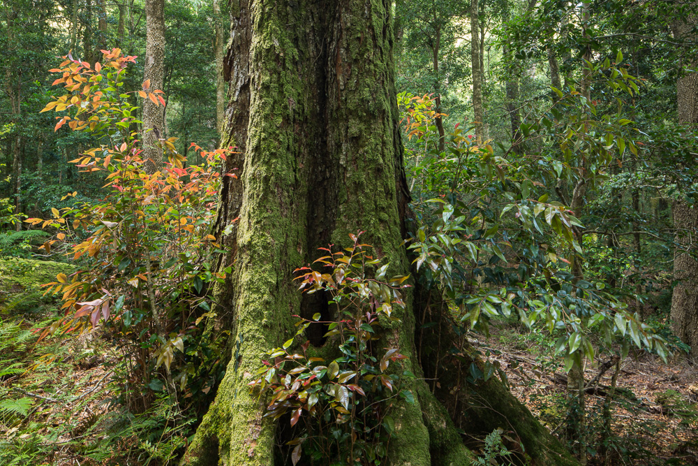 Antarctic Beech with new growth, Mount Allyn Range