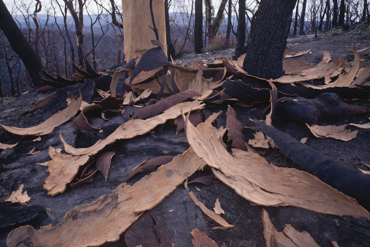 Angophora burnt, Wollemi