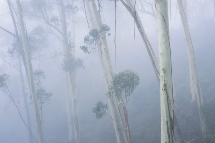 Blue Mountains Ash, Blue Mountains National Park