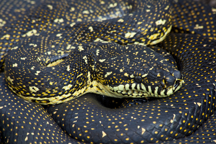 Diamond Python, Wollemi Wilderness